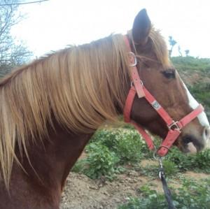 caballo anglo árabe